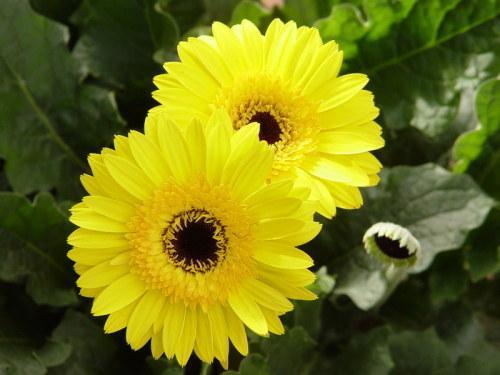 hoa đồng tiền màu vàng